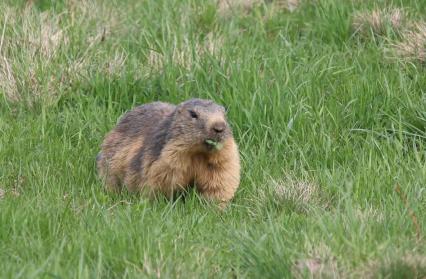 colonie-marmottes-les-saisies