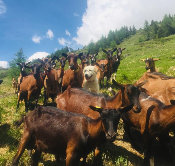 Notre troupeau de chèvres