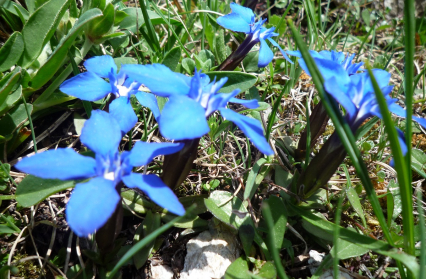 Flore du Beaudortain