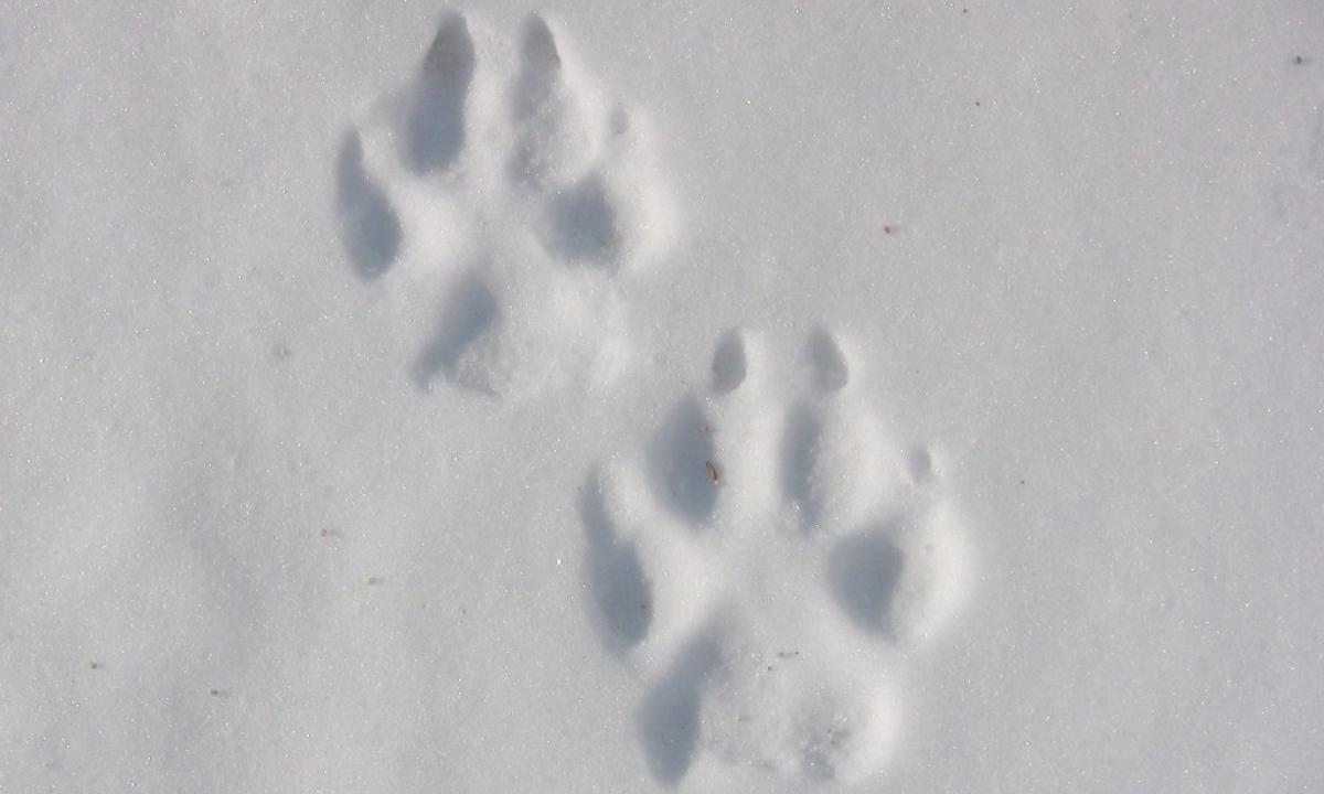 sur les traces de mammifères