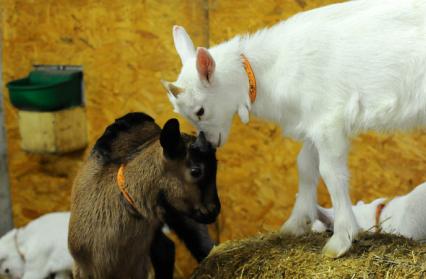 2_chèvres