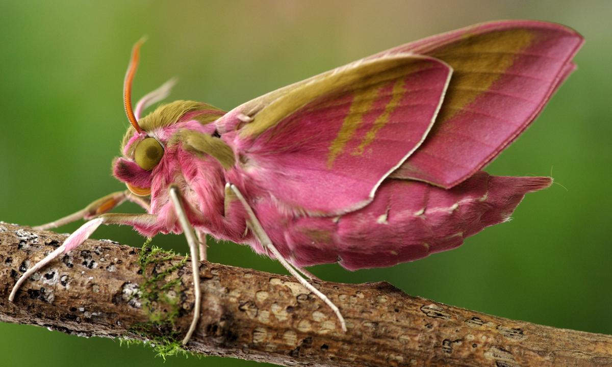 Papillon de nuit Deilephila Elpenor