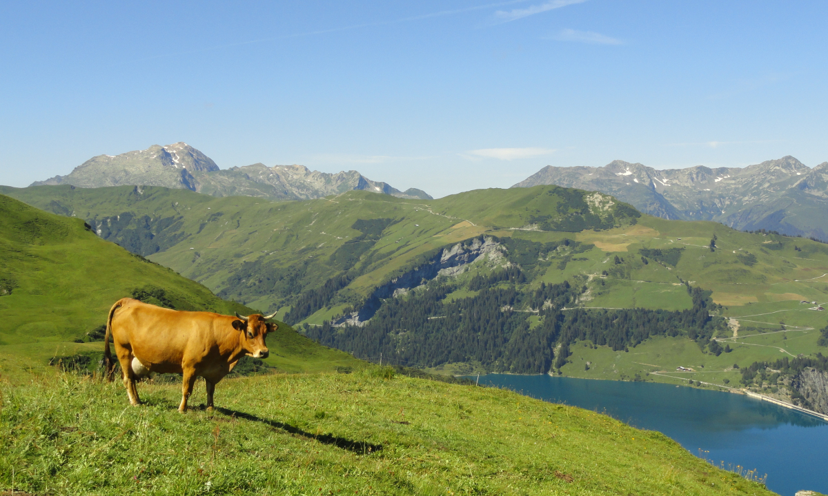 Vache en alpage au-dessus de Roselend